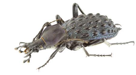 Carabus pustulifer isolated on a white background.