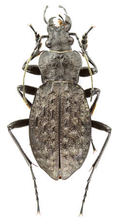 carabus: Carabus variolosus isolated on a white background.