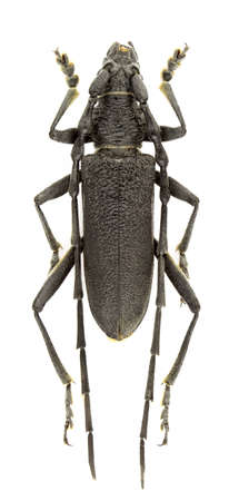 Cerambyx scopolii (capricorn beetle) isolated on a white background.