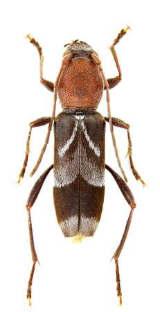 longhorn beetle: Chlorophorus ruficornis (longhorn beetle) isolated a  white background.