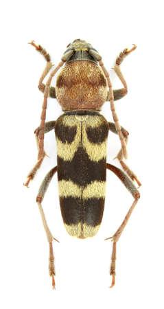 longhorn beetle: Chlorophorus trifasciatus (longhorn beetle) isolated on white background Stock Photo