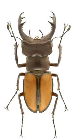 Lucanus laetus (stag beetle) isolated on a white background. Standard-Bild
