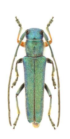longhorn beetle: Phytoecia caerulea (longhorn beetle) isolated on a white background. Stock Photo