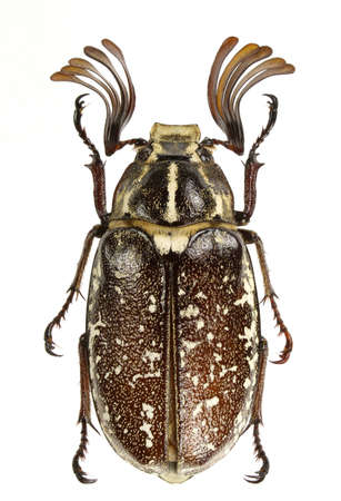 polyphylla: Polyphylla boryi (lined june beetle) isolated on a white background.