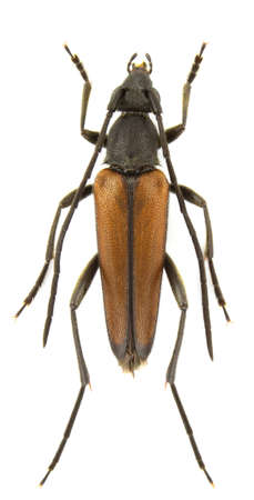 longhorn beetle: Male of Stenurella melanura (black-striped longhorn beetle) isolated on a white background.