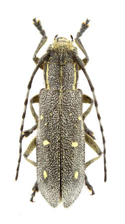 longhorn beetle: Saperda quercus (longhorn beetle) isolated on a white background. Stock Photo