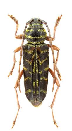 Megacyllene robiniae (locust borer) isolated on a white background. Stock Photo