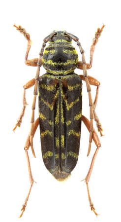 borer: Megacyllene robiniae (locust borer) isolated on a white background. Stock Photo