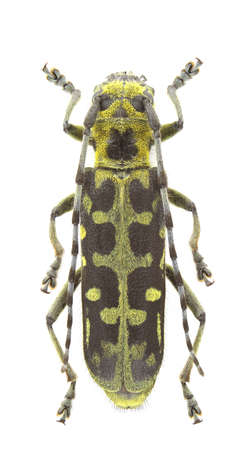 longhorn beetle: Saperda scalaris (longhorn beetle) isolated on a white background.