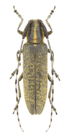 longhorn beetle: Agapanthia villosoviridescens (longhorn beetle) isolated on a white background Stock Photo