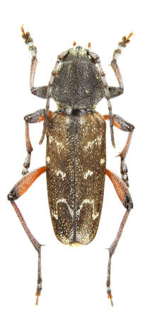 longhorn beetle: Xylotrechus rusticus (longhorn beetle) isolated on a white background