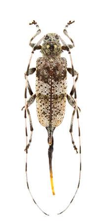 Female of Acanthocinus griseus isolated on white background. photo