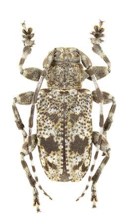 Male of Aegomorphus clavipes isolated on white background Stock Photo