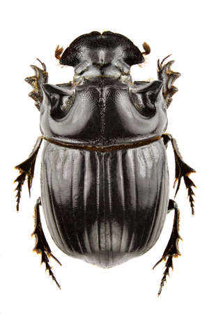 scarabaeidae: Male of Copris lunaris isolated on white background.