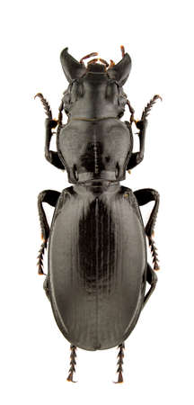 carabidae: Percus strictus oberleitneri isolated on white background.