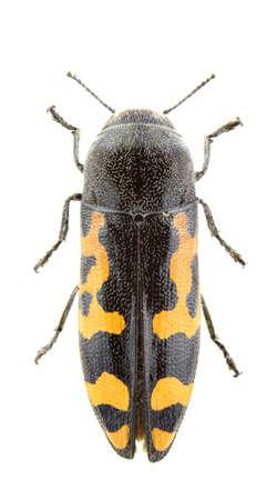 Ptosima undecimmaculata isolated on a white background.