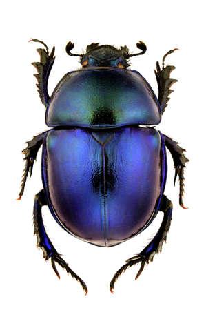 escarabajo: Hembra de Trypocopris vernalis aislados sobre fondo blanco.
