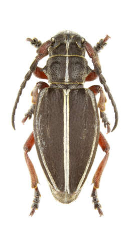 Female of Pedestredorcadion tauricum isolated on a white background.