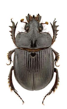 Male of Ceratophyus hoffmannseggi isolated on white background