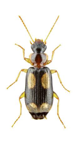 carabidae: Dromius quadrimaculatus isolated on a white background Stock Photo