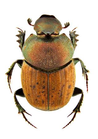 scarabaeidae: Male of Onthophagus coenobita isolated on white background Stock Photo