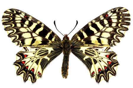 Male of Zerynthia polyxena isolated on white background