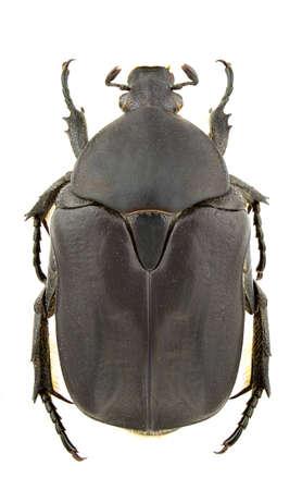 Female of Protaetia opaca isolated on white background photo