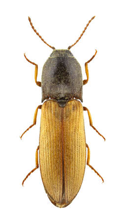 click beetle: Agriotes ustulatus isolated on a white background. Stock Photo