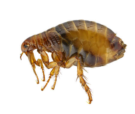 flea: Pulex irritans isolated on a white background.