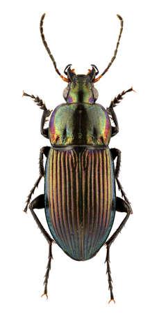 carabidae: Poecillus versicolor isolated on a white background. Stock Photo