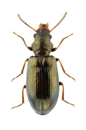 Rabocerus foveolatus isolated on a white background. Standard-Bild
