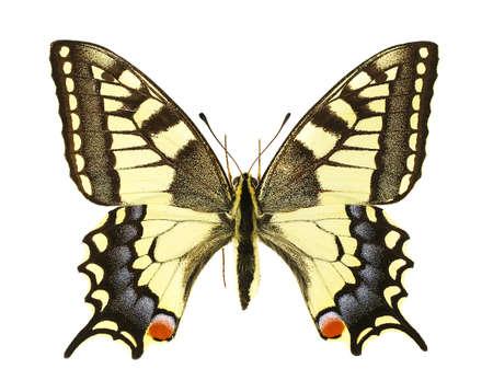 mariposas amarillas: Vista dorsal de un Papilio machaon aislado en un fondo blanco. Foto de archivo