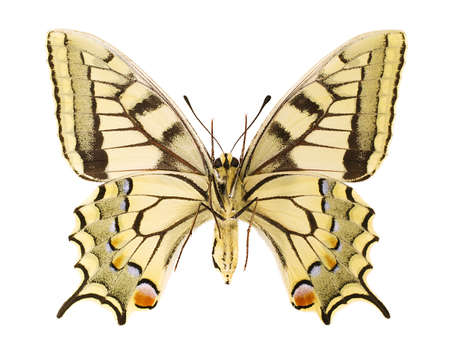 Ventral view of an Papilio machaon isolated on a white background. Stock Photo