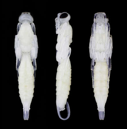 Pupa of Xorides praecatorius in different angles isolated on a black background. photo