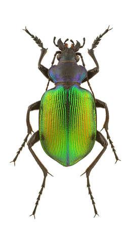 escarabajo: Macho de sycophanta de Calosoma aislado en un fondo blanco. Foto de archivo