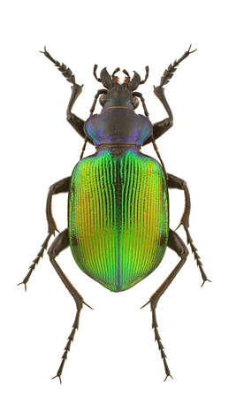 beetles: Male of Calosoma sycophanta isolated on a white background.