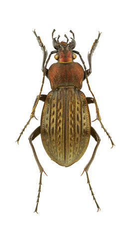 carabus: Male of Carabus cancellatus isolated on a white background.