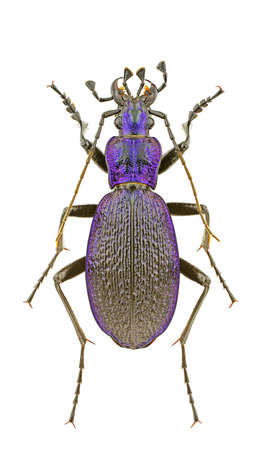 carabus: Male of Carabus intricatus isolated on a white background.