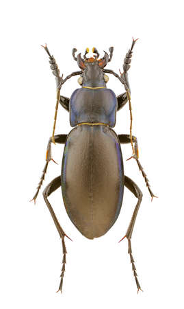 carabus: Male of Carabus violaceus isolated on a white background. Stock Photo