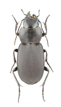 carabidae: Licinus cassideus isolated on a white background.