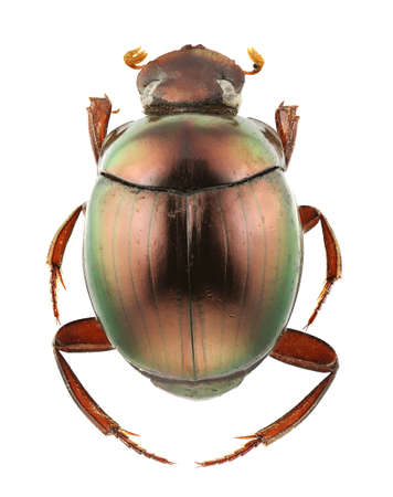 A species of Canthon isolated on a white background.