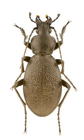carabus: Male of Carabus coriaceus isolated on a white background.