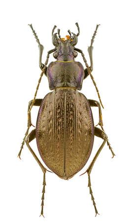carabus: Female of Carabus obsoletus isolated on a white background.