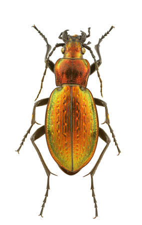 Female of Carabus obsoletus isolated on a white background.