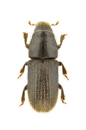 Hylurgus ligniperda geïsoleerd op een witte achtergrond. Stockfoto