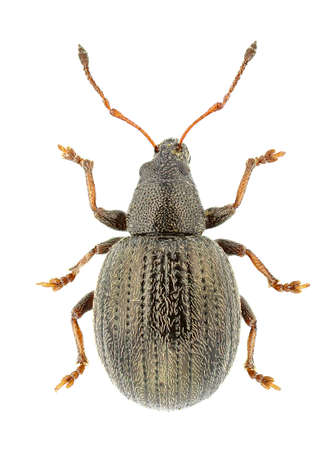 weevils: Omias suberulus isolated on a white background. Stock Photo