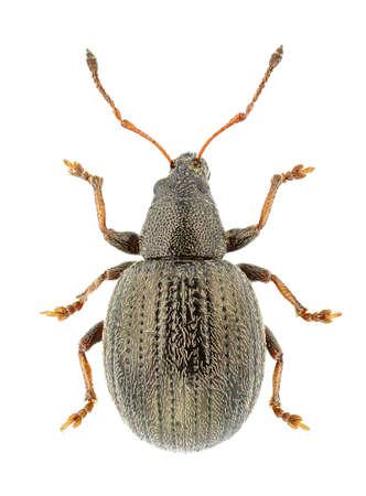 curculionidae: Omias suberulus isolated on a white background. Stock Photo