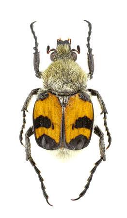Trichius fasciatus isolated on a white background.