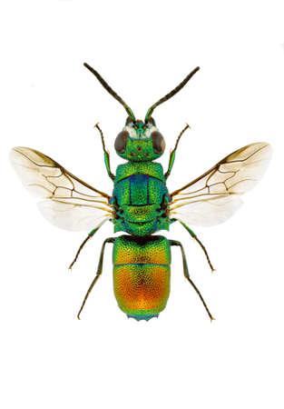 Chrysis taczanovskii (Jewel wasp) isolated on white background.