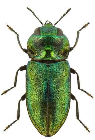 escarabajo: Mujer de fulgurans Anthaxia aislado en un fondo blanco.